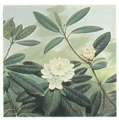 WV state flower